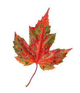 autumn maple leaf isolated on a white ba