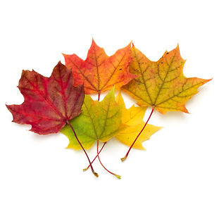 colorful autumn maple leaf isolated on w