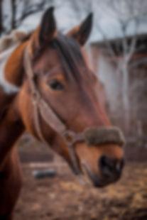 Beautiful piebald horse closeup in the w