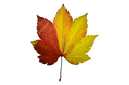 Press red and yellow leaf from maple tre