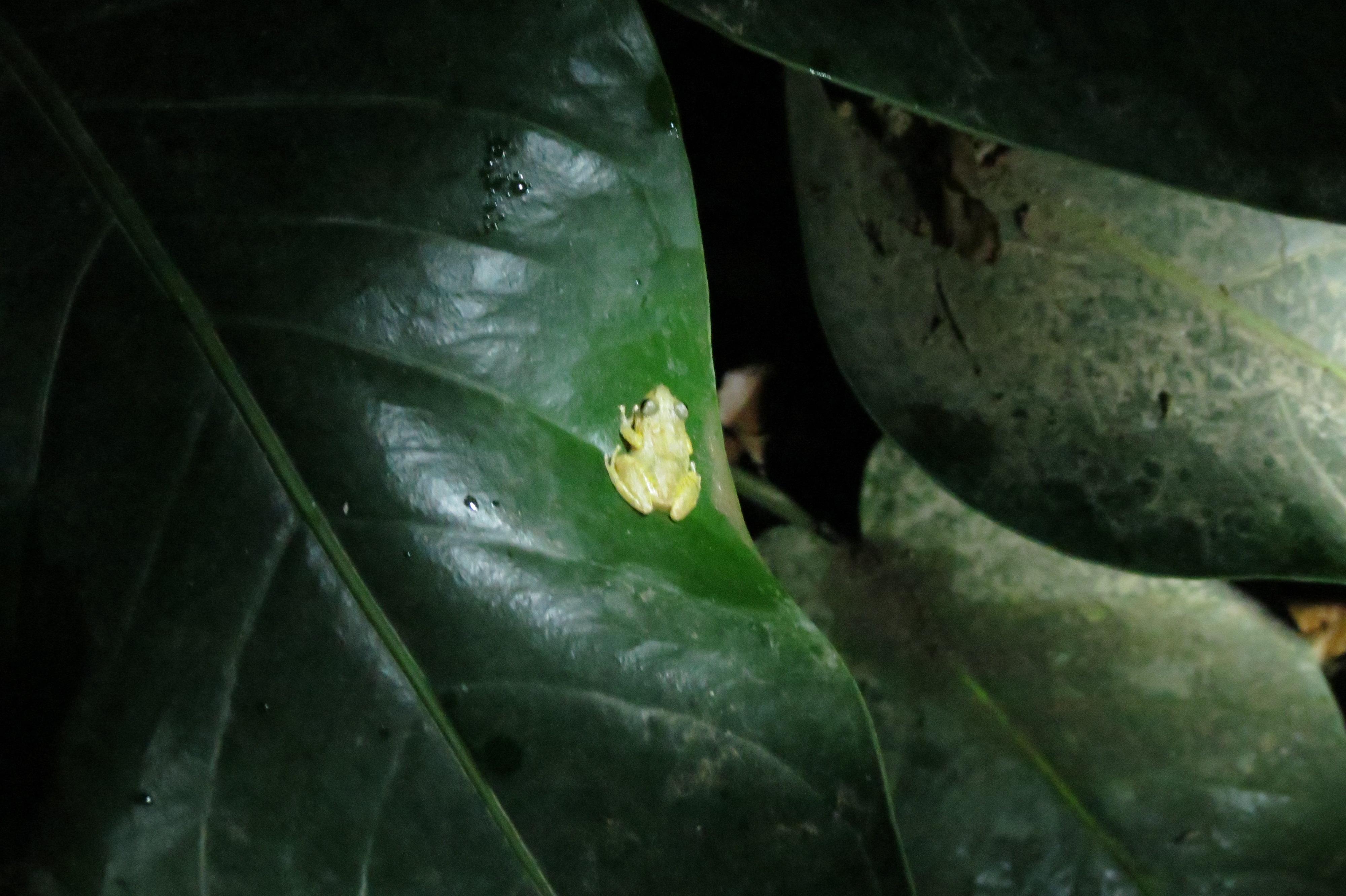צפרדע בסיור לילי בג'ונגל