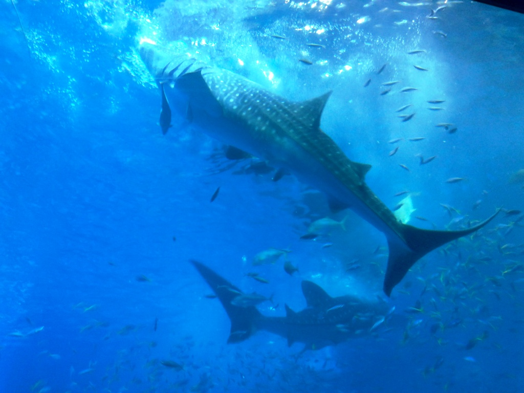 requin baleine de Churaumi