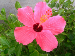 Ibiscus de Okinawa