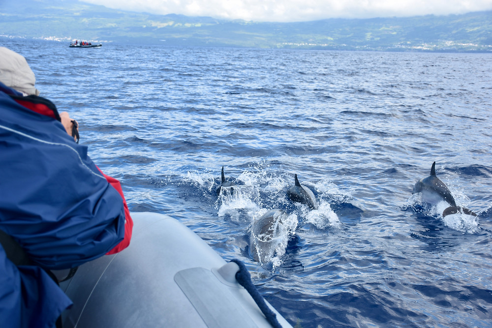 Dolphins swimming in ocean near Pico, Azores