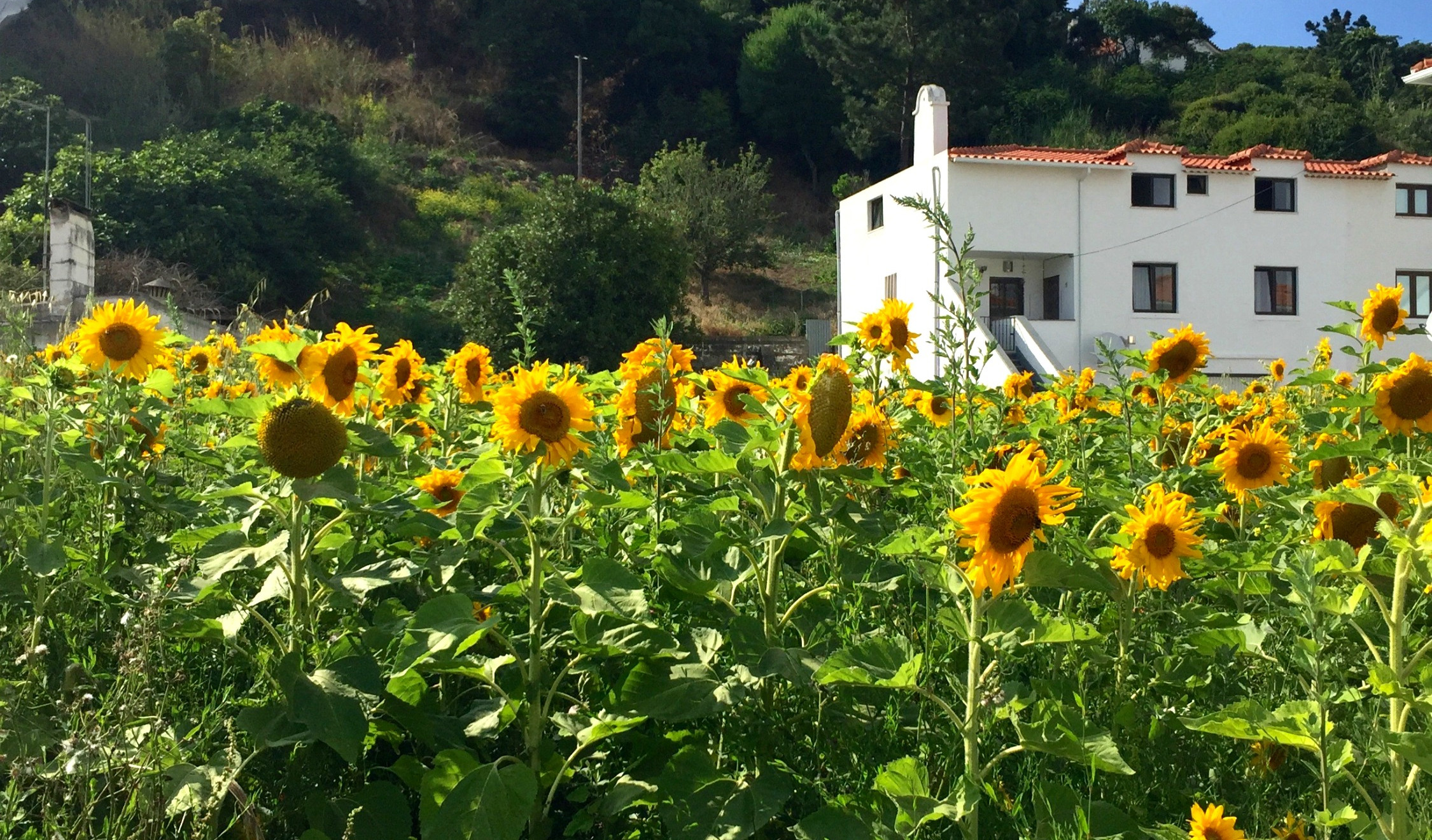 Sunflowers growing wildly in Foz do Arelho