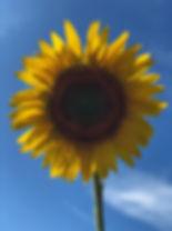 mammoth sunflower.jpg