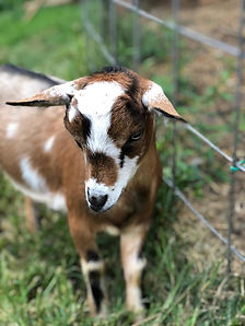 papa johns goat.jpg
