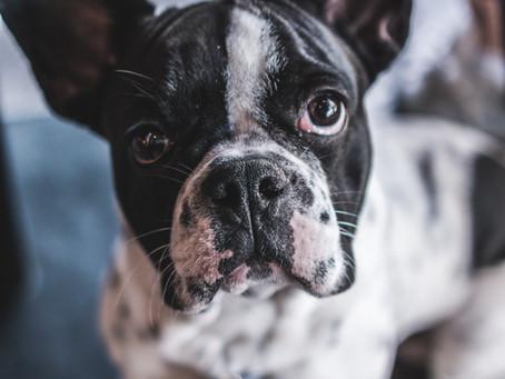 Ohrenentzündungen beim Hund - Ein Guide für zu Hause