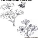 Dasies_Cornflower.PNG