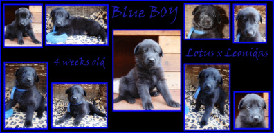 blue boy 4 weeks.JPG