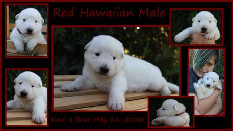 red hawaiian boy 3 weeks.JPG