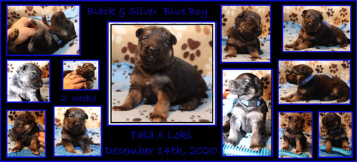 blue boy  2 weeks old.JPG