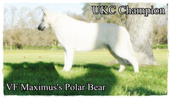 bear ukc champion
