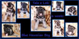 blue hawaiian 6 wks.JPG