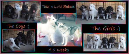 tala x loki 4.5 weeks.jpg