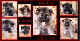 red boy 6 weeks.JPG