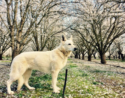 icy in the orchards