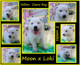 Yellow camo boy 5 weeks.JPG