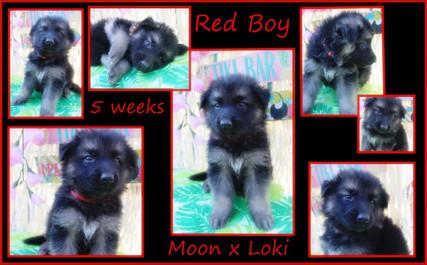 red boy 5 weeks.JPG