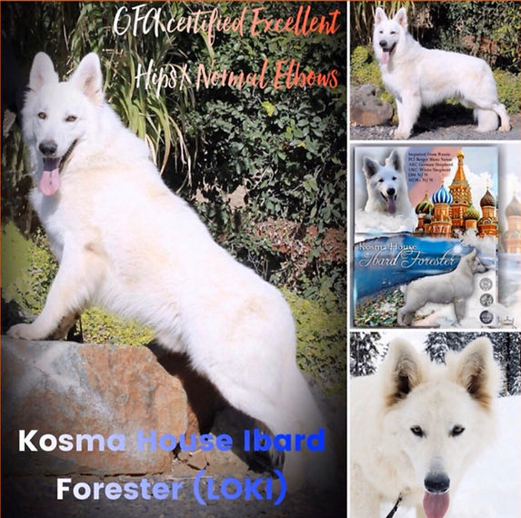 Loki- Russian Import WGSD Stud.jpg