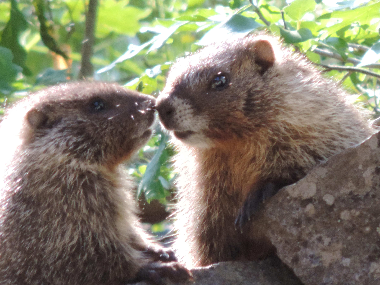 Loving Marmots