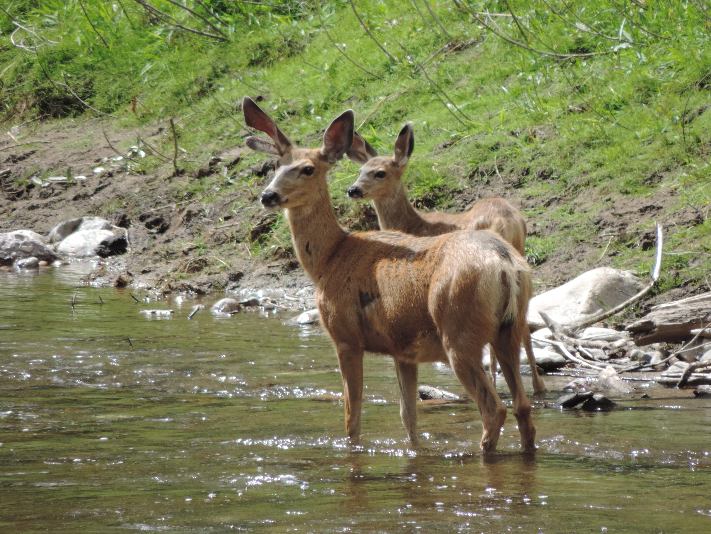 Pine River Deer