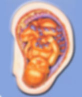 Aurículoacupuntura, acupuntura auricular, aurículo, aurículo terapia, casa da terra