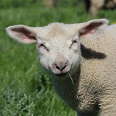 STANDARD_lamb.jpg