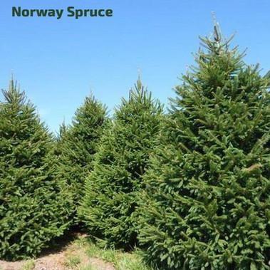 STANDARD_christmastrees_norway.jpg