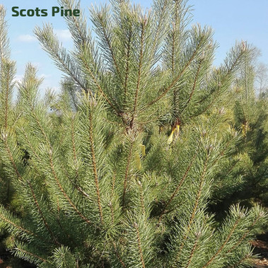 STANDARD_christmastrees_scots.jpg