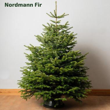 STANDARD_christmastrees_nordmann.jpg