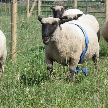 STANDARD_sheeprace.jpg