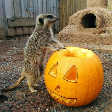 STANDARD_fff_pumpkinmeerkat.jpg