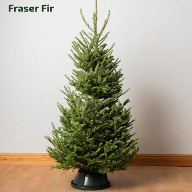 STANDARD_christmastrees_fraser.jpg