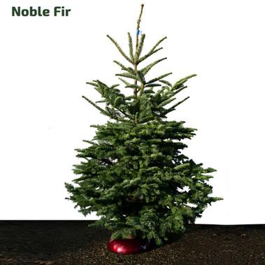 STANDARD_christmastrees_noble.jpg