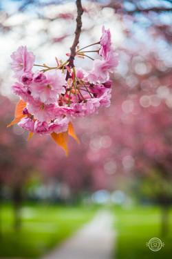 Cerisiers du Jardin d'Ypres - le Touquet
