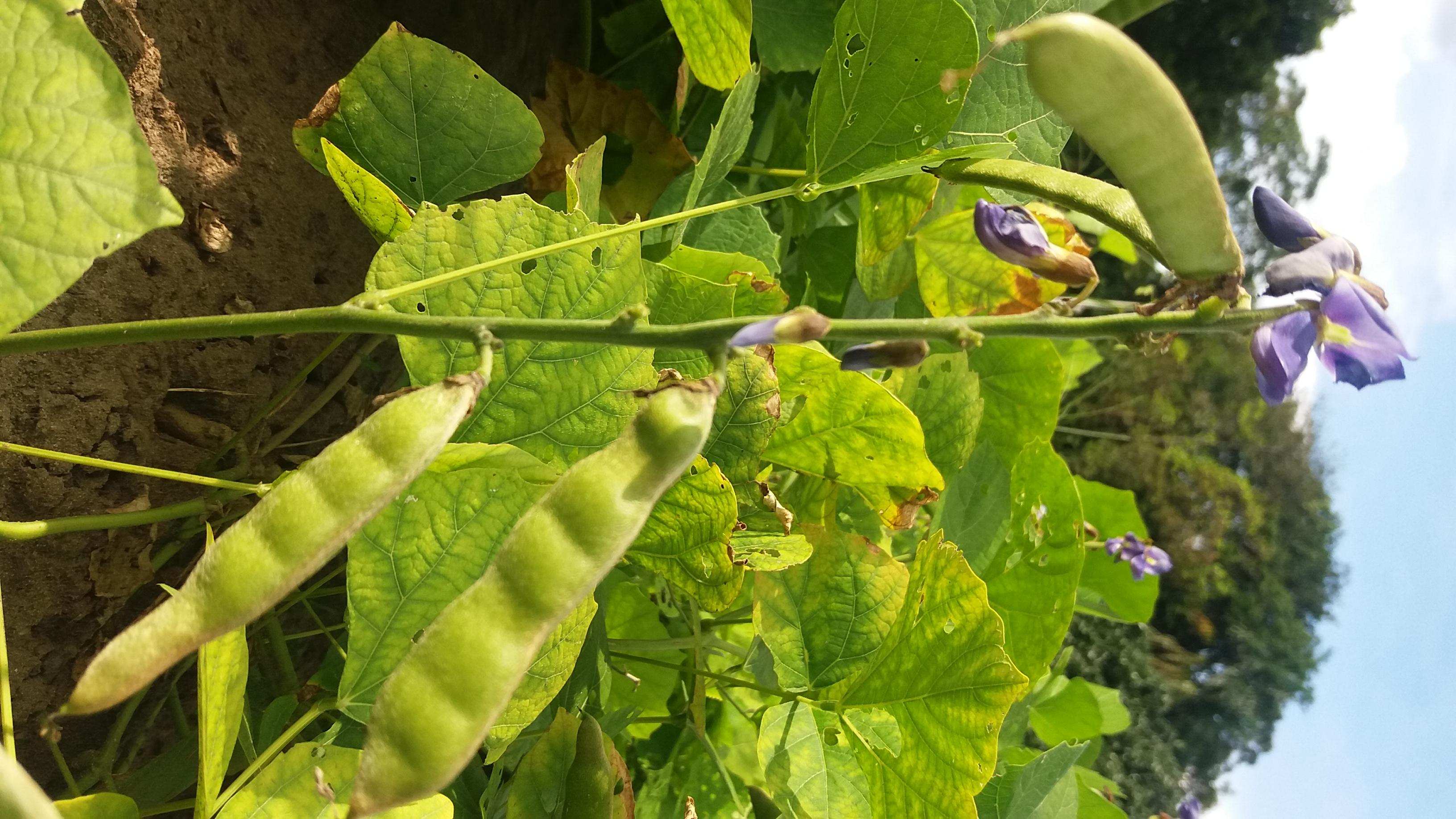 Flores do feijão-macuco