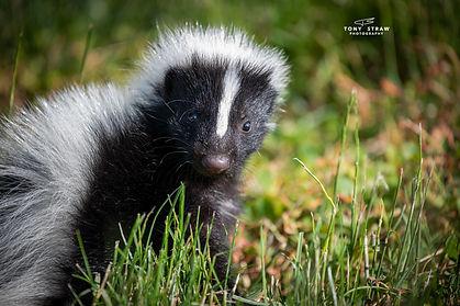 skunk-2w.jpg