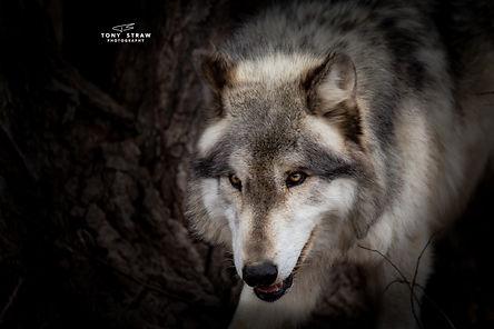 wolf-2-w.jpg