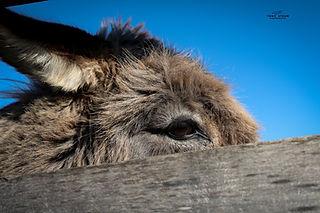 donkey2-w.jpg