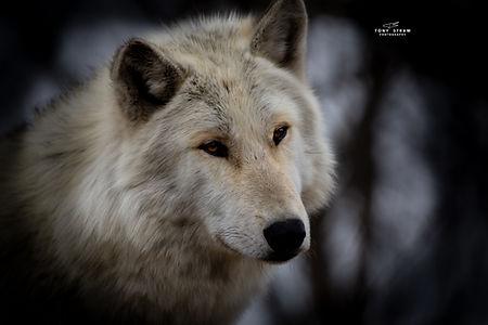 wolf-3-w.jpg