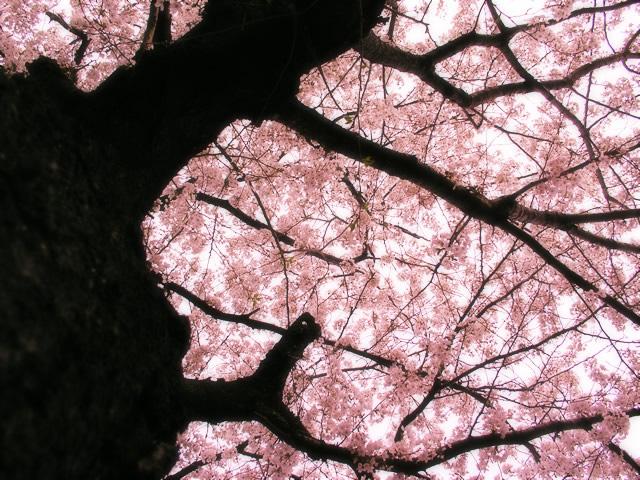 仙南 大河原の桜
