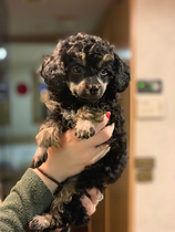 Phanton Toy Poodle0Peaches and Ginger-Ra