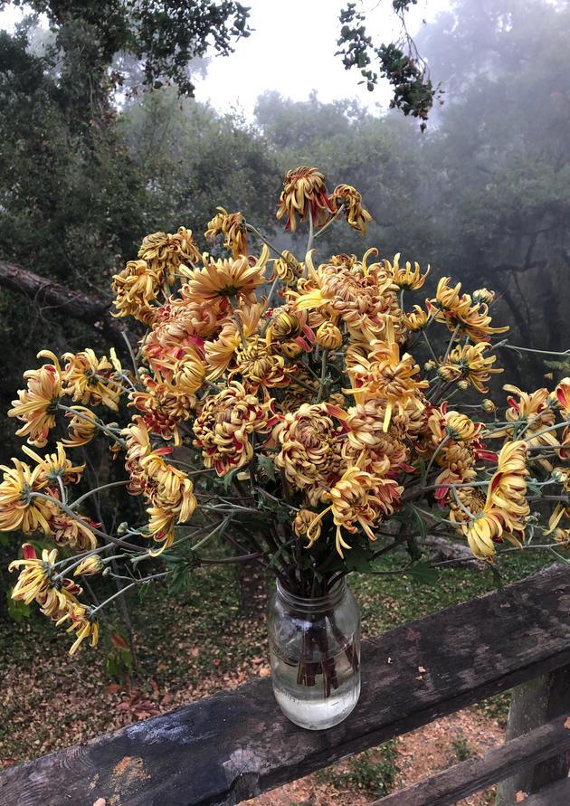 heirloom chrysanthemums