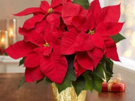 Bet You Didn't Know When the Christmas Plant Was a Pepper, Not a Poinsettia!