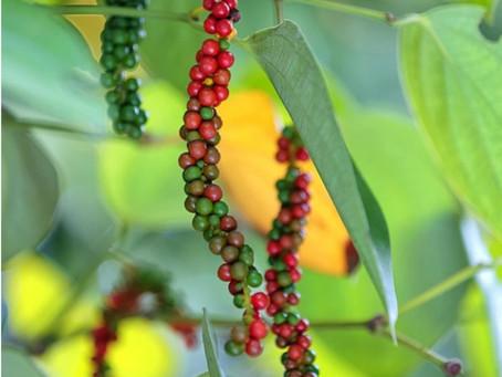 Black Pepper Healthy?