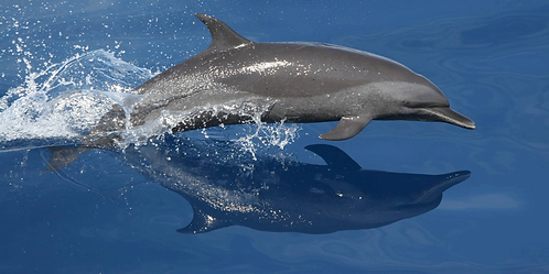 Dolphin with Shadow