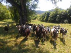 troupeau de chèvre massif central