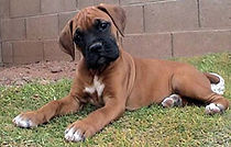 Fawn-Boxer-Puppy-12-Weeks.jpg