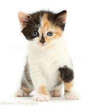 41889-Calico-kitten-5-weeks-old-sitting-